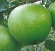 Granny-Smith-Zoldalma