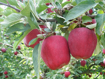 Skyspur Red Delicious alma